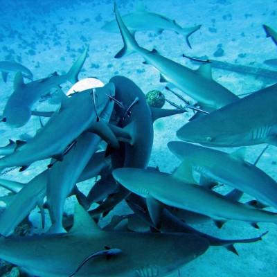 Shark-Feeding-Frenzy-1800x1300